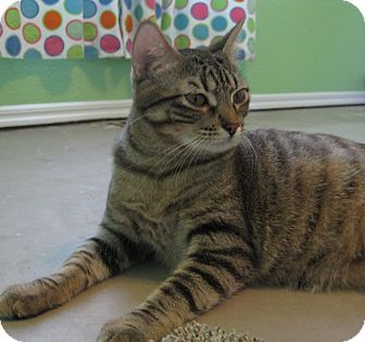 Domestic Shorthair Cat for adoption in Edmond, Oklahoma - Countess