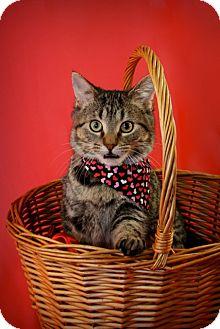 Domestic Shorthair Kitten for adoption in Green Bay, Wisconsin - Kesha