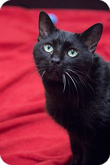 Domestic Shorthair Cat for adoption in Chicago, Illinois - Smokey