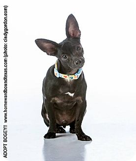 Chihuahua/Dachshund Mix Dog for adoption in Bedford, Texas - Bogey