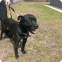 Adopt A Pet :: Major - Berlin, CT