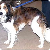 Adopt A Pet :: Shay(Kooiker breed) - Toronto/Etobicoke/GTA, ON