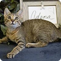 Adopt A Pet :: Adena - Coral Springs, FL