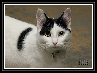 Domestic Shorthair Kitten for adoption in New Richmond,, Wisconsin - Bocce