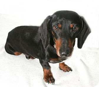 Dachshund Dog for adoption in Pearland, Texas - Huck
