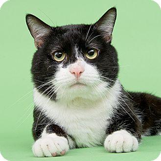 Domestic Shorthair Cat for adoption in Wilmington, Delaware - Lelo