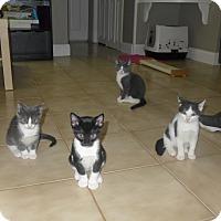 Adopt A Pet :: Omar's Kittens - Harrison, NY