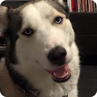Siberian Husky Dog for adoption in Sugar Land, Texas - Monroe