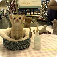 Domestic Shorthair Kitten for adoption in Newnan, Georgia - Frankie