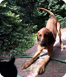 Bloodhound Dog for adoption in New York, New York - Quiet Night