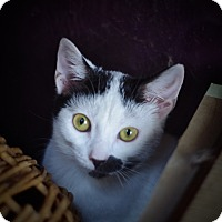 Adopt A Pet :: Demeter - Covington, KY