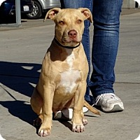 Pit Bull Terrier Puppy for adoption in Lathrop, California - Jules