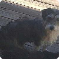 Lhasa Apso/Terrier (Unknown Type, Small) Mix Dog for adoption in Matthews, North Carolina - Lenny