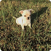 Chihuahua Mix Puppy for adoption in Conesus, New York - Alvin