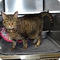 Adopt A Pet :: Bella - Wheaton, IL