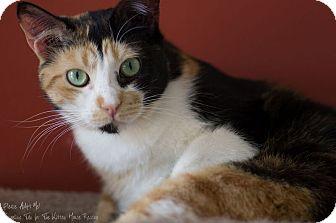Calico Cat for adoption in Houston, Texas - JUNO