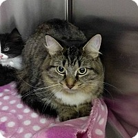Domestic Longhair Cat for adoption in THORNHILL, Ontario - Gimlet
