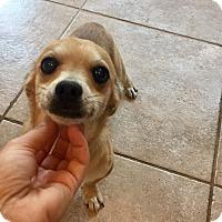 Adopt A Pet :: Beauregard - Austin, TX
