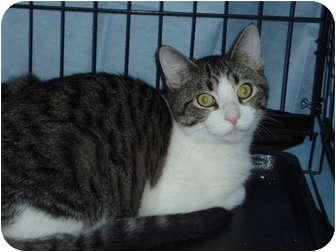 Domestic Shorthair Kitten for adoption in Westfield, Massachusetts - Cloud