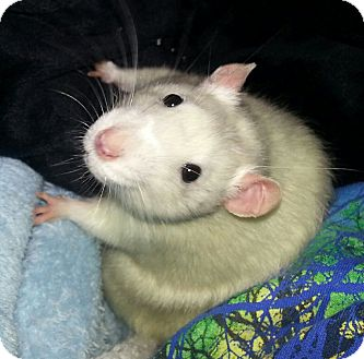 Rat for adoption in Lakewood, Washington - Snowbelle
