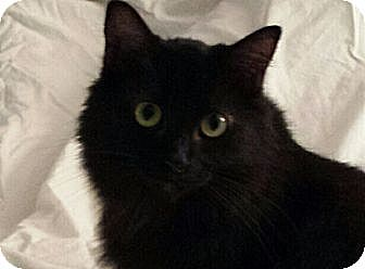 Persian Cat for adoption in Columbus, Ohio - Holly
