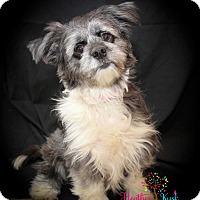 Adopt A Pet :: Scarlett - Hillsboro, IL