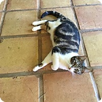 American Shorthair Cat for adoption in Los Angeles, California - Franklin