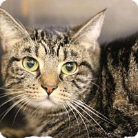Domestic Shorthair Cat for adoption in Raleigh, North Carolina - Ted