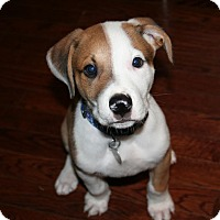 Adopt A Pet :: Copper - Knoxville, TN