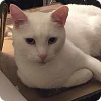 Domestic Shorthair Cat for adoption in Harrisburg, Pennsylvania - Mr Whiska's (adult male)