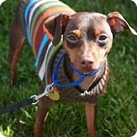 Miniature Pinscher Dog for adoption in Sacramento, California - Sheldon