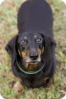 Dachshund Dog for adoption in Orangeburg, South Carolina - Adoption pending - Thomas
