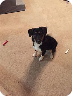 Collie Mix Puppy for adoption in Kennedale, Texas - Sadi