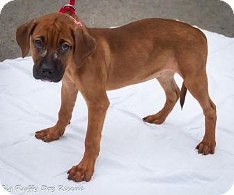 Boxer Mix Puppy for adoption in Enfield, Connecticut - Raindrop