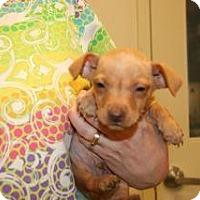Adopt A Pet :: Bray - Wildomar, CA