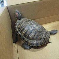 Turtle - Other for adoption in Burbank, California - A068307