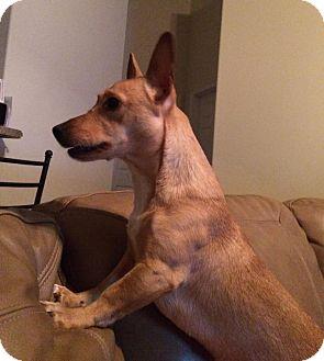 Corgi/Chihuahua Mix Dog for adoption in Savannah, Georgia - Millie