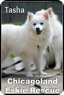 American Eskimo Dog Dog for adoption in Elmhurst, Illinois - Tasha