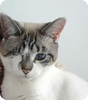 Siamese Cat for adoption in Philadelphia, Pennsylvania - Ora