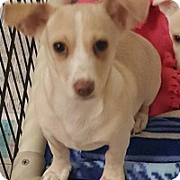 Dachshund/Rat Terrier Mix Puppy for adoption in Las Vegas, Nevada - Penny's Rascal