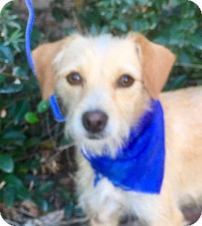 Terrier (Unknown Type, Small) Mix Puppy for adoption in San Diego, California - GUS