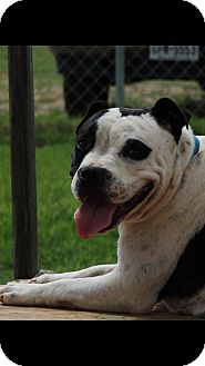 American Bulldog/American Pit Bull Terrier Mix Dog for adoption in Denver City, Texas - Baby Girl