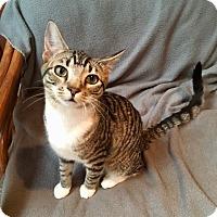 Adopt A Pet :: CHLOE - Beverly, MA
