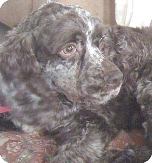 Cocker Spaniel Dog for adoption in Kannapolis, North Carolina - Gina/Ziva  -Adopted!