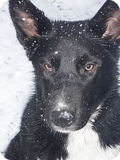 Karelian bear dog border collie mix - photo#9