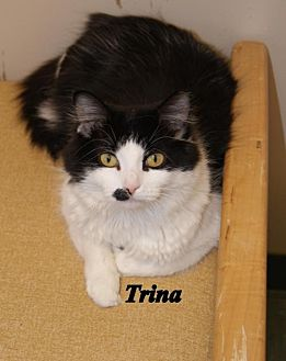 Domestic Longhair Cat for adoption in Lima, Ohio - Trina