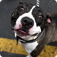 Adopt A Pet :: Brianna - Detroit, MI
