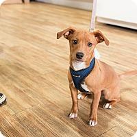 Adopt A Pet :: Darrell Hammond - Jersey City, NJ