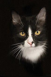 Domestic Longhair Cat for adoption in Belton, Missouri - Capella