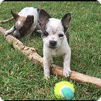 Adopt A Pet :: Sassy - Leming, TX
